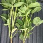 Rotação entre Arroz e Soja: Adubação fosfatada para melhorar a fertilidade do solo