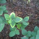 Potássio para a soja: cuidados para não faltar