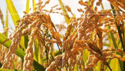 planejamento agrícola no milho