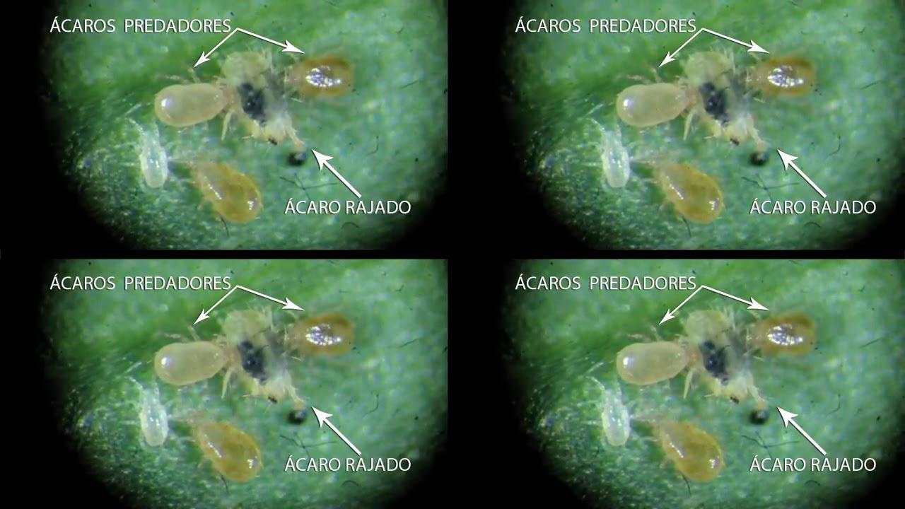 controle biológico e manejo integrado de pragas