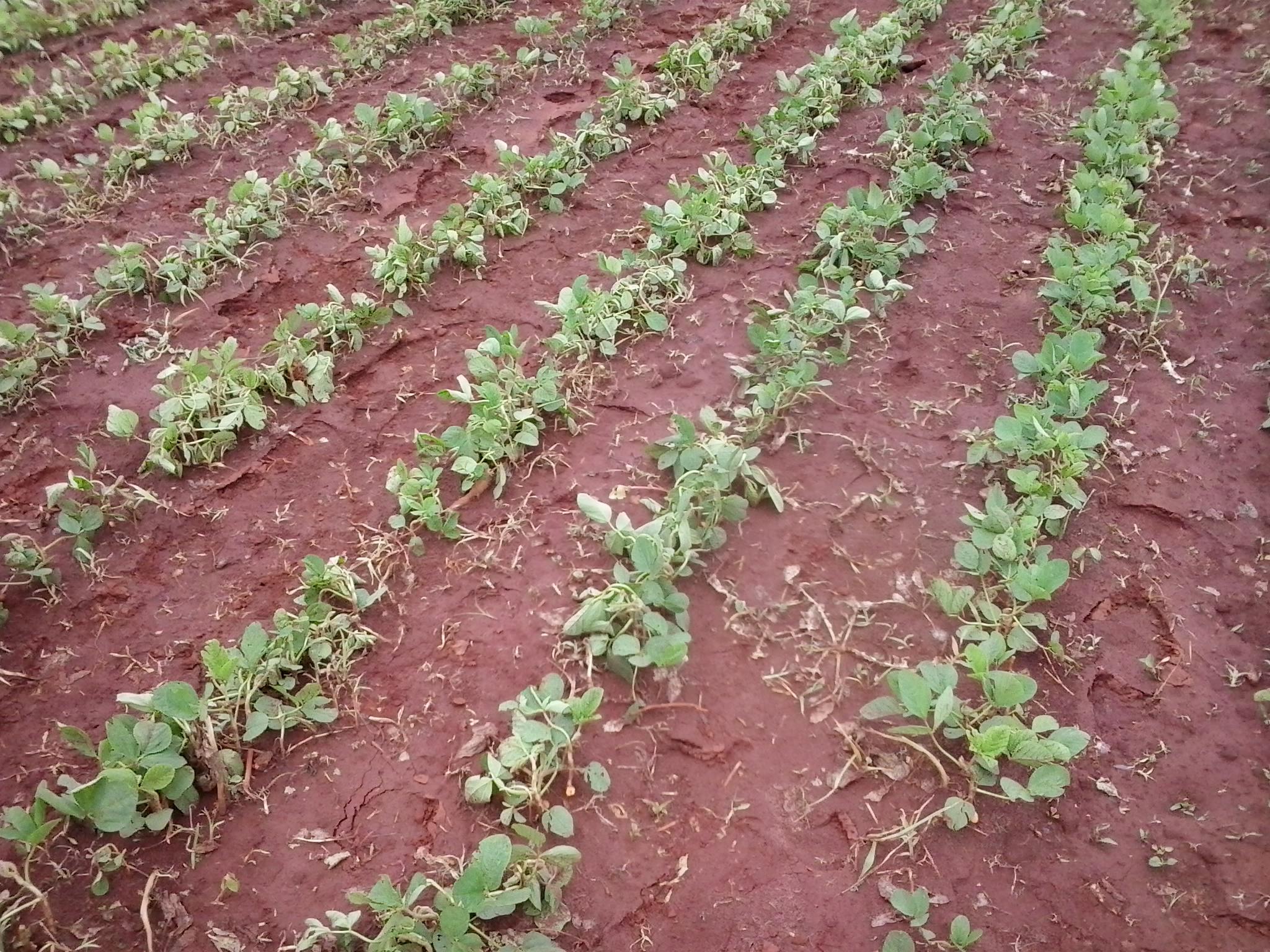 foto campeonato sintoma herbicida