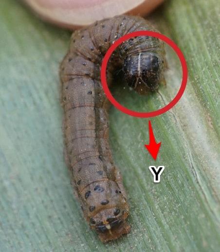 y-spodoptera