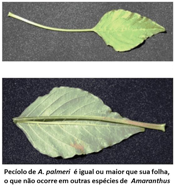 Pragas agrícolas: amaranthus palmeri folha