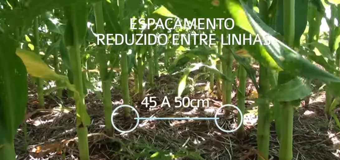 espaçamento reduzido milho