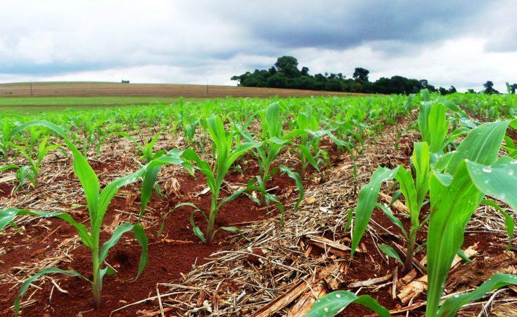 campo-milho