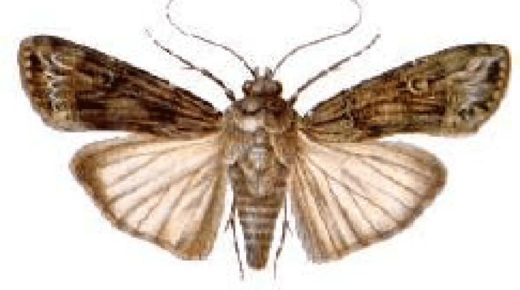 lagarta-rosca-adulto