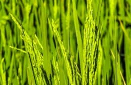 lavoura-de-arroz