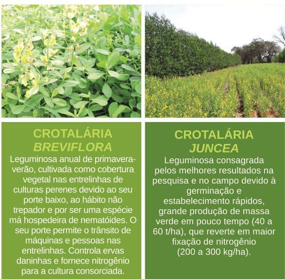 adubação verde e crotalarias