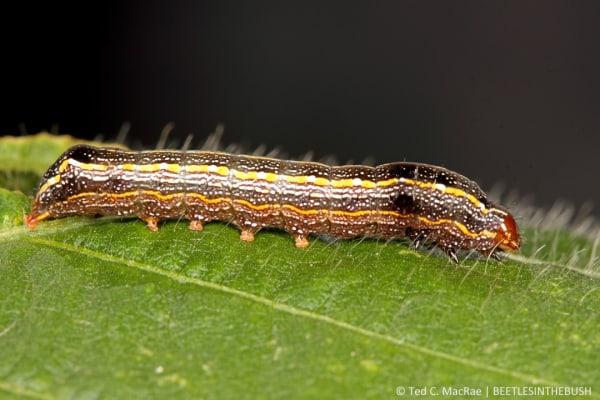 spodoptera-cosmiodes