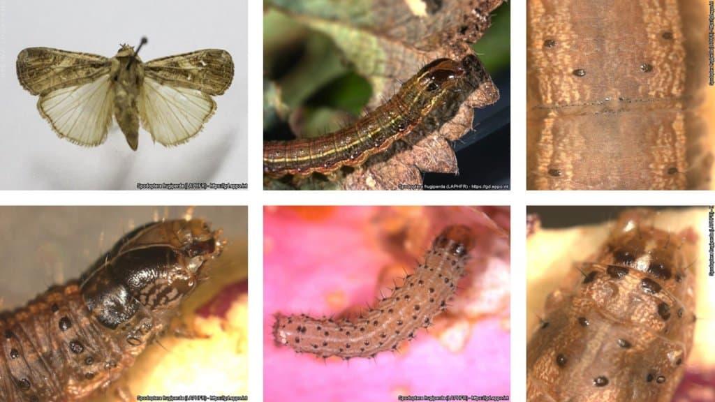 caracteristicas-spodoptera-frugiperda
