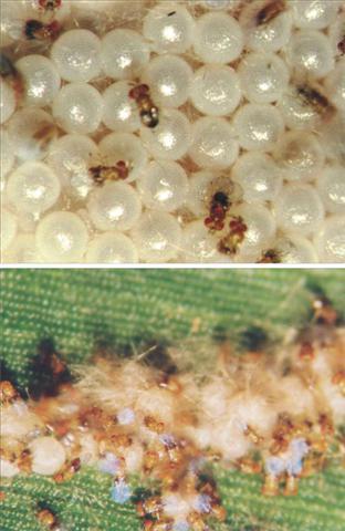 trichogramma-spodoptera-frugiperda