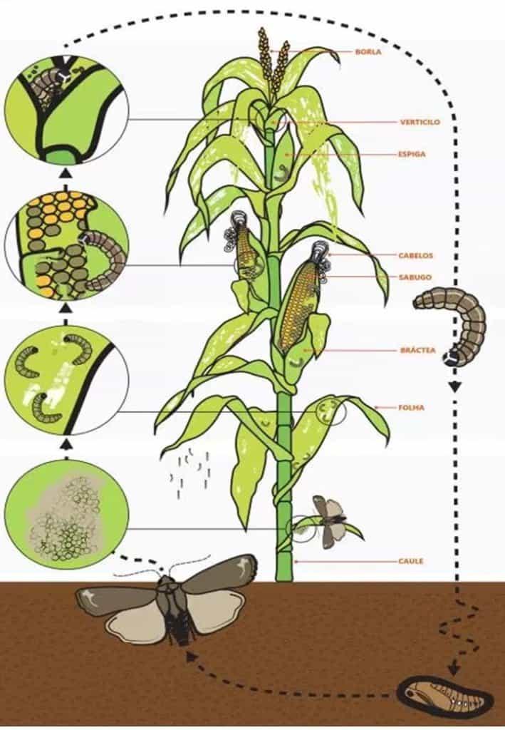spodoptera-frugiperda-ciclo