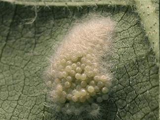 ovos-spodoptera-frugiperda