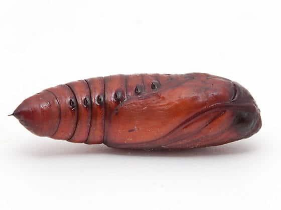 pupa-spodoptera-frugiperda