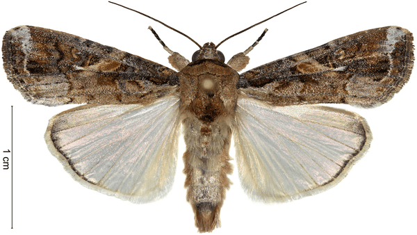 adulto-spodoptera-frugiperda