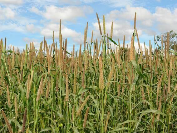 adubação verde vantagens e desvantagens