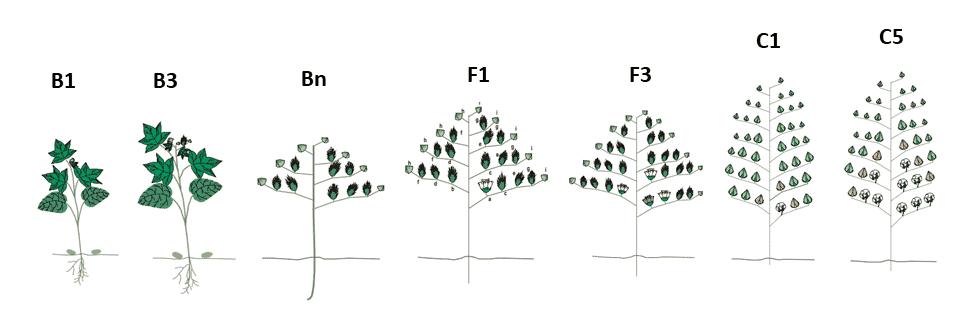 3-cultura-do-algodão-fase-reprodutiva