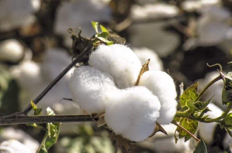 cultura-do-algodão