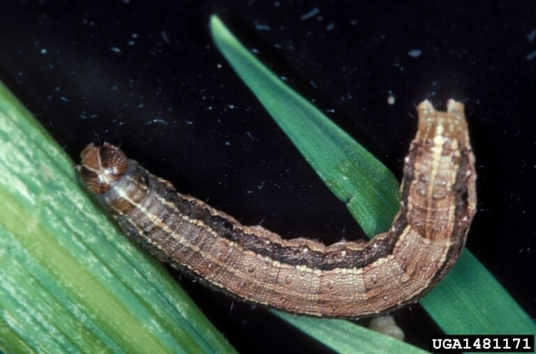 4-controle-biológico-das-lagartas-da-soja-spodoptera-frugiperda