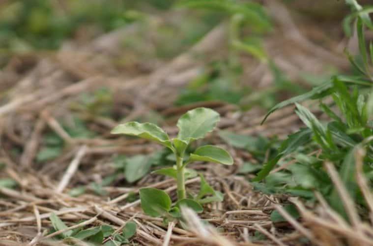 identificação-plantas-daninhas