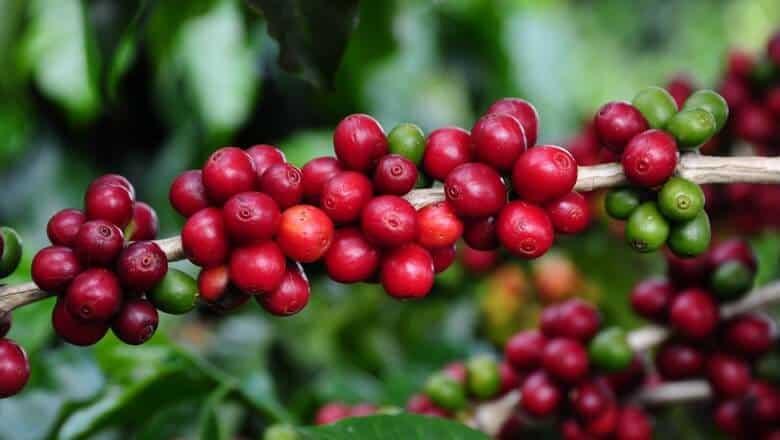 lavoura de café