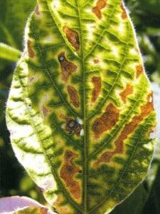2-nematoide-das-galhas-folha-carijó