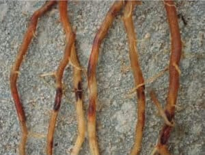 4-nematoides-na-cana-de-açúcar