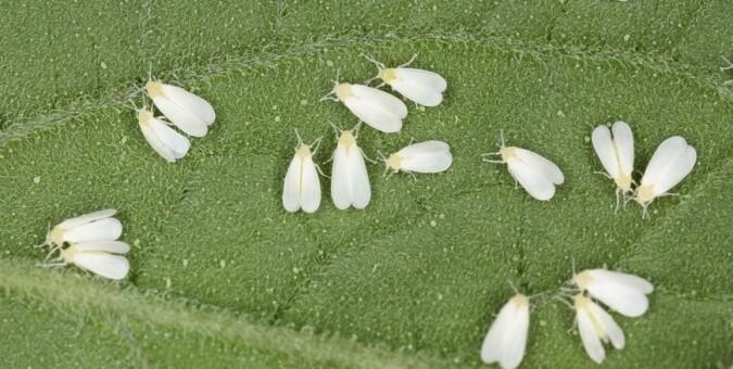 8-inseticidas-mosca-branca