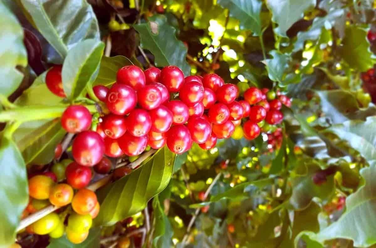 adubo-liquido-para-café