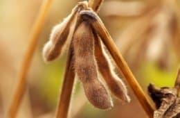 plantação-de-soja
