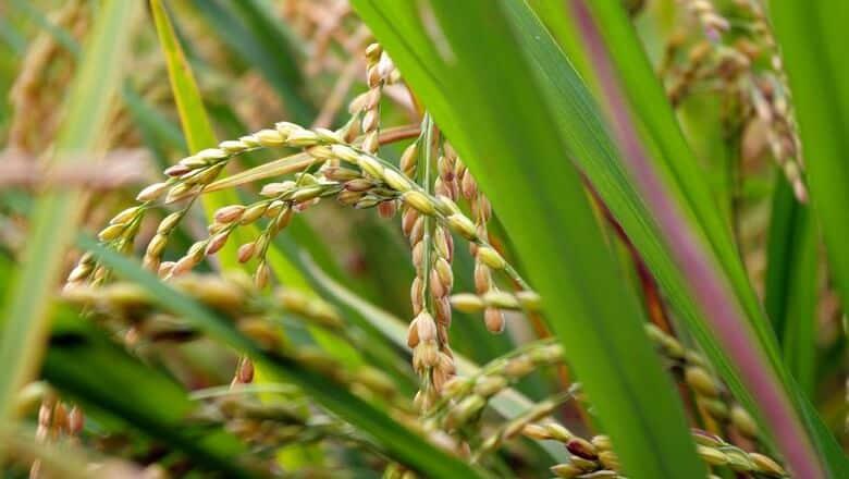 colheita de arroz
