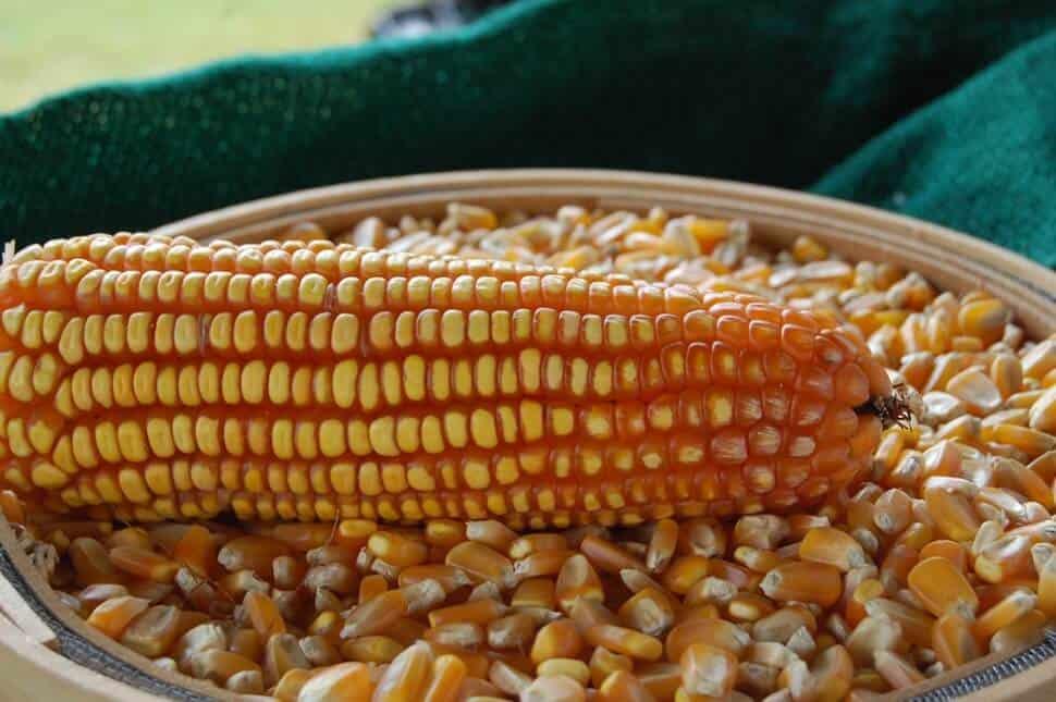 safrinha do milho