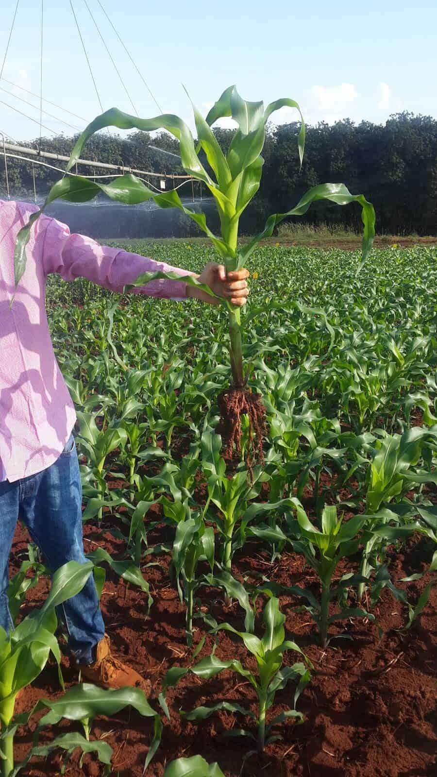 plantação de milho irrigado