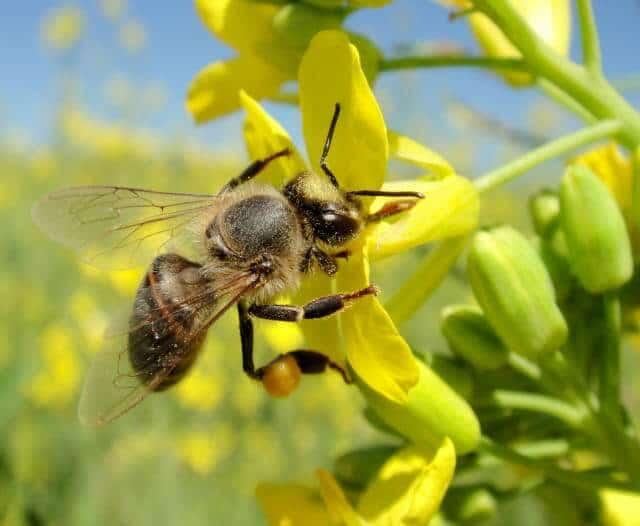 importância das abelhas na agricultura