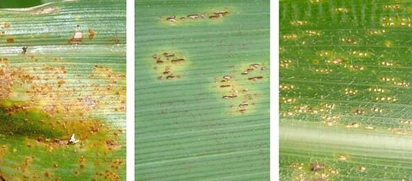 doenças na cultura do milho
