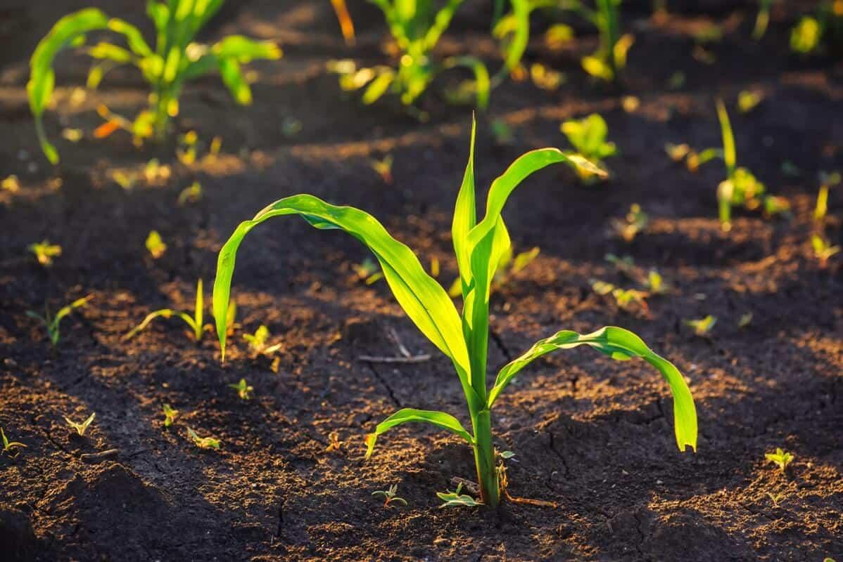 herbicida para milho