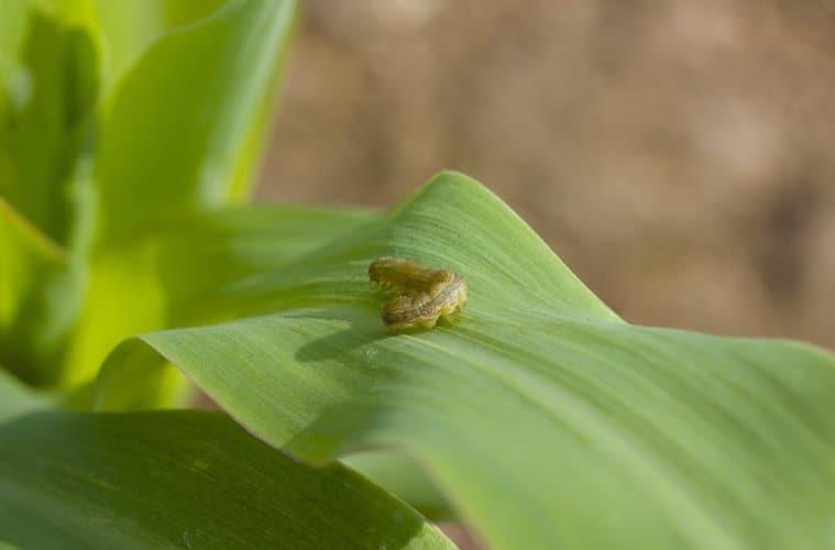 lagarta-do-cartucho do milho