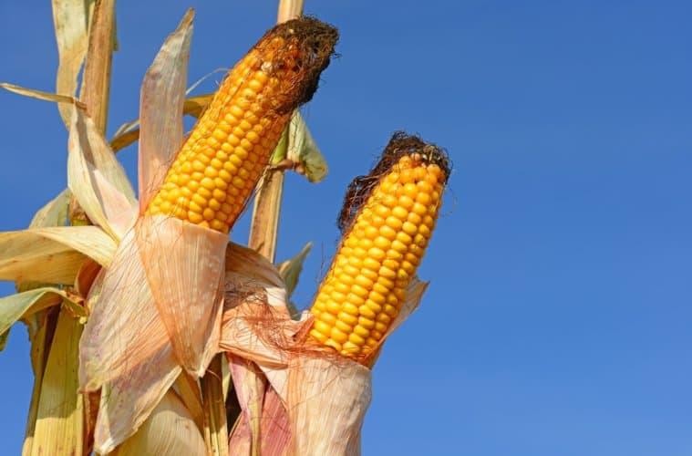 preço do milho 2019