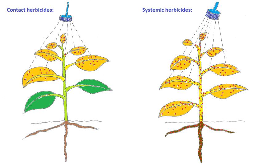 herbicida sistêmico