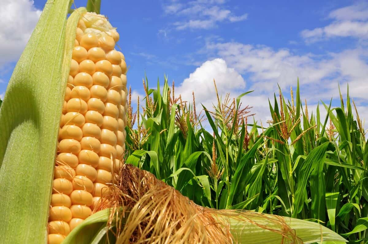 Produção de milho 2019