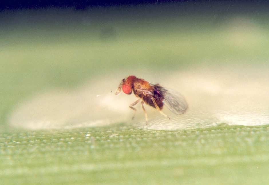 defensivos biológicos - Vespa da espécie Trichogramma galloi parasita ovos da broca-da-cana