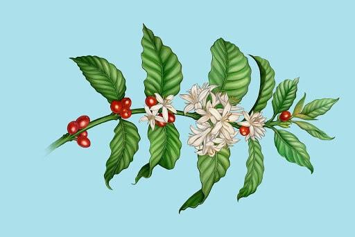 florada do café