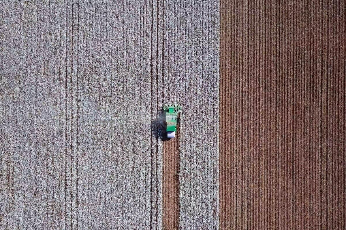 colheita algodão 2019