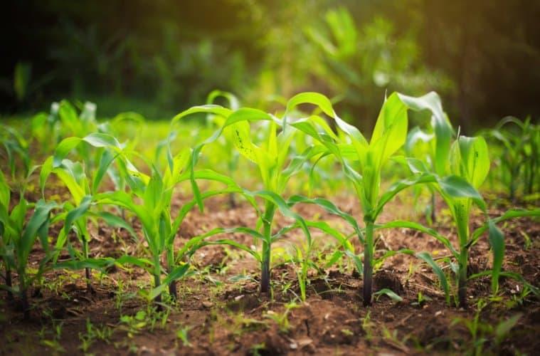 dessecação pré-plantio milho