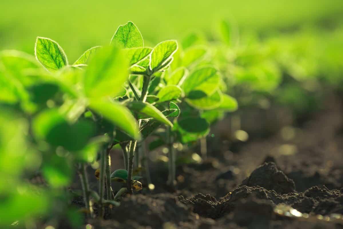 herbicidas pré-emergentes soja