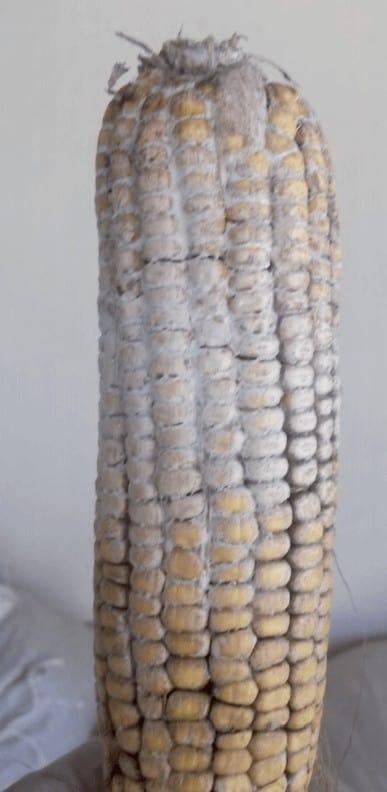 espiga Embrapa Stenocarpella maydis