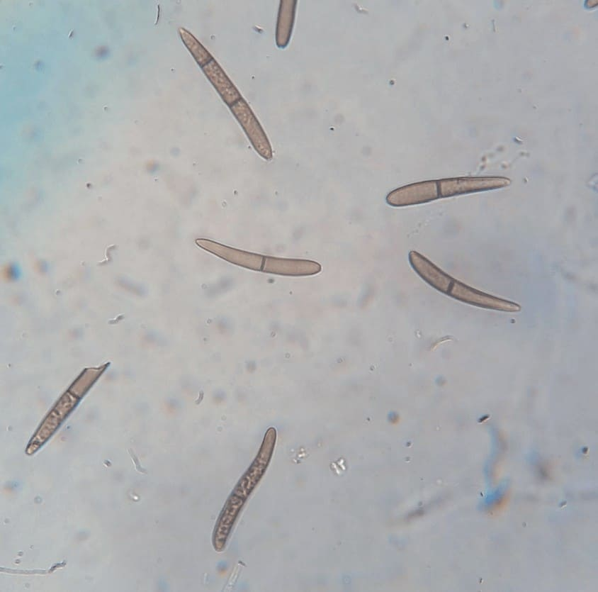 Embrapa esporos de S. macrospora