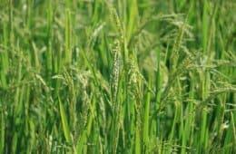 plantio de arroz