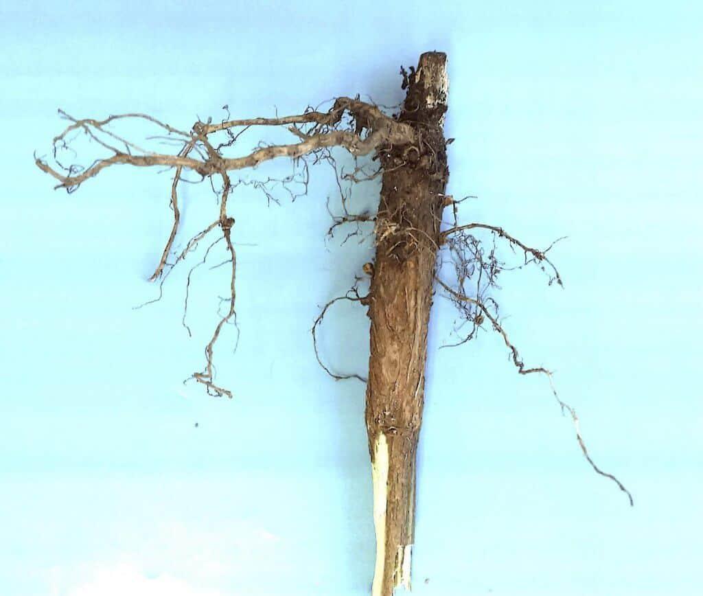 podridão de carvão das raízes