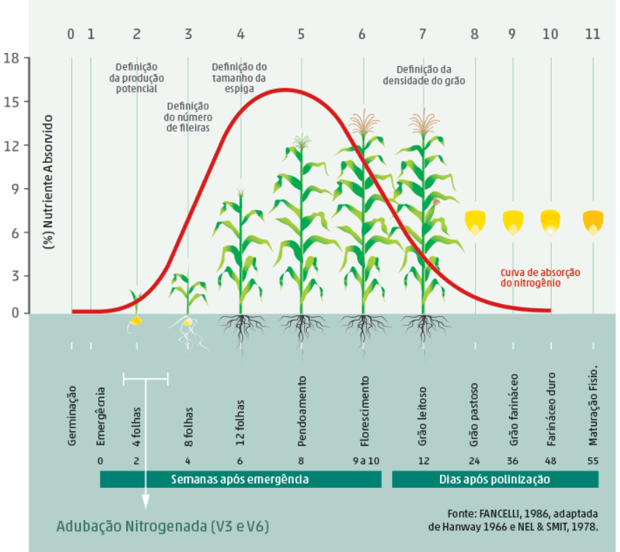 absorção do nitrogênio no milho